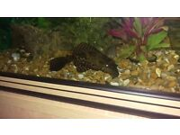Common sailfin pleco