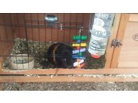 2 male guineapigs and wooden outdoor cage and food
