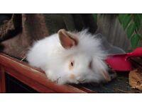 Last beautiful boy lionlop bunny