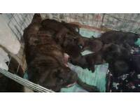 Rottweiler cross brindle mastiff puppys for sale