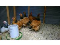 Buff and speckled Sussex chickens for sale