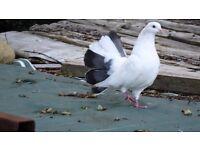 Fantail pet bird