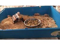 4 baby hamsters