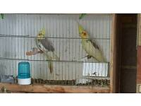 Two cockatiels for sale