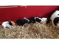 Looking to rehome rabbit guinea pig or hamster