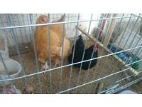 Chickens for sale - egg layer