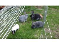 Beautiful young rabbits for sale