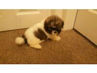 Shih tzu puppies females for sale