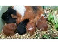 Nice Guinea pigs