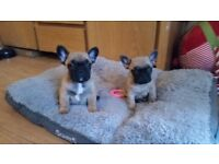 French Bulldog puppy for sale, ready to leave 22nd Dec
