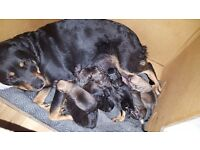 Presa Canario x Rottweiler puppies for sale