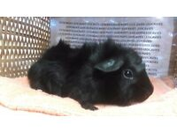 Pair of female guinea pigs ready now