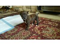 For sale staffy,cross puppies