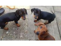 PEDIGREE Adorable Miniature Dachshund Puppies