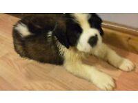 Pure bred saint bernard puppy