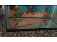 2 axolotl