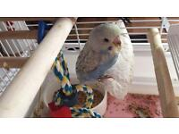 Hand reared baby budgie