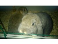 pure bred mini lop dwarf lop baby rabbits 8 weeks old very tame and used to children, starter cage