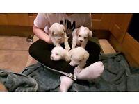 Cavapoo puppies 9 weeks old