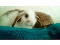 Rabbit bunny lop male 12 weeks old
