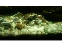 50 various Ramshorn and Trumpet water snails for aquarium fish tanks