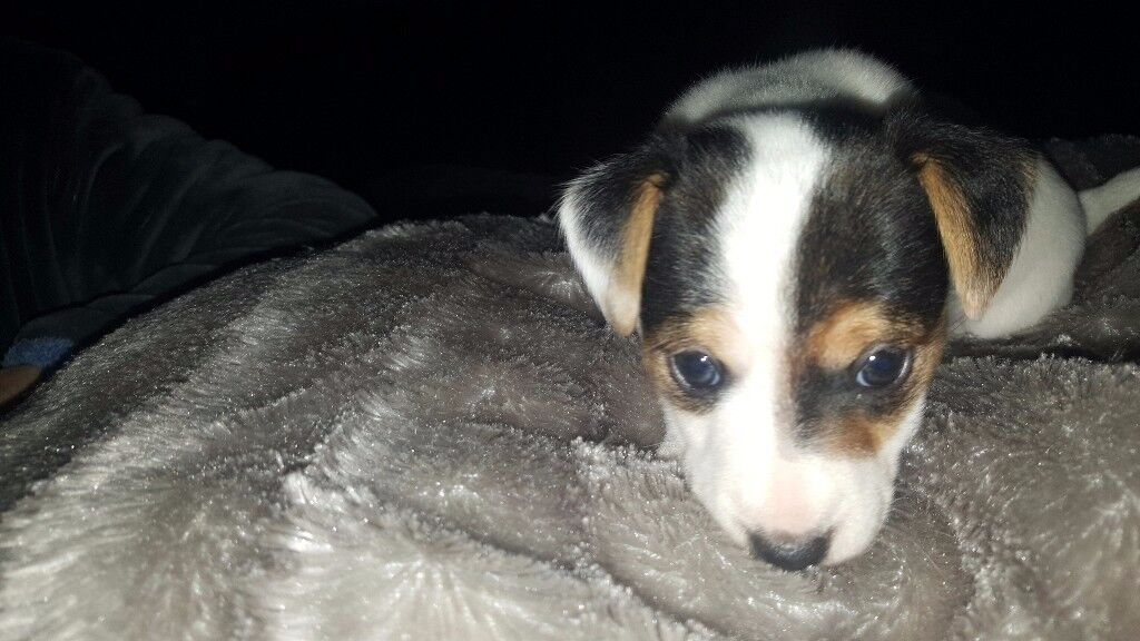 1 jack russel puppy for sale 1 beautiful girl left