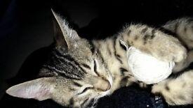 READY NOW ! Pedigree Bengal Kitten Silver Rosette