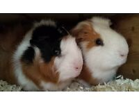 2 male guinea pigs and large hutch for sale