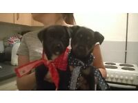beautiful male and female puppies for sale