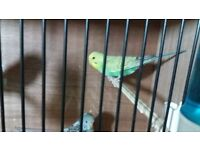 budgies 2 for £25