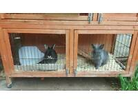 Two female rabbits with hutch and accessories