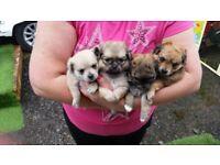 Pomeranian x Shitzu puppies