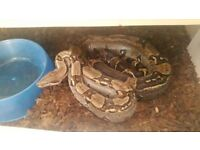 Snake free to good home
