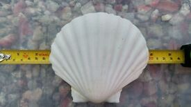 75 very large Scallop shells