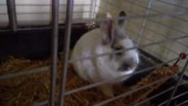 2 male lionhead rabbits for rehoming