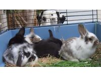 Mini lop lion head cross rabbits 8 weeks old ready for loving home.