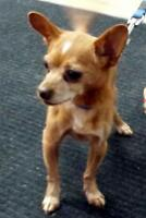 "Senior Male Dog - Chihuahua: ""Chewy"""