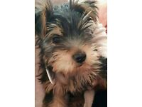 Yorkshire terrier male