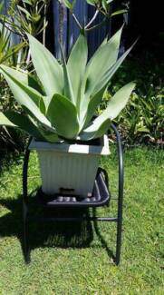 Very large, well established potted agave plant,
