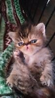 PERSIAN AND EXOTIC SHORTHAIR KITTENS AVAILABLE NOW