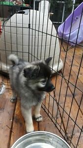 American Eskimo x Keeshond Puppies looking for you Strathcona County Edmonton Area image 7