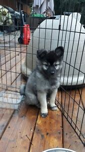 American Eskimo x Keeshond Puppies looking for you Strathcona County Edmonton Area image 3