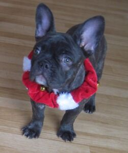French Bulldog Kijiji In Calgary Buy Sell Save With Canada S