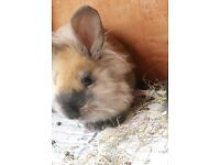 Male Lionhead - 12 weeks old