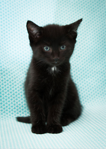 Shadow rescue KITTEN to adopt VET WORK INC Bentley Canning Area Preview