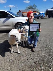 Texel lambs, Twin Ewes $1000 OBO