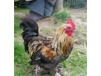 Asorted bantam cockerels, free to good home. Not for the pot!