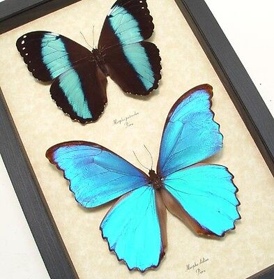 Real Framed Morpho Patrocles   Morpho Didius Butterflies M1019