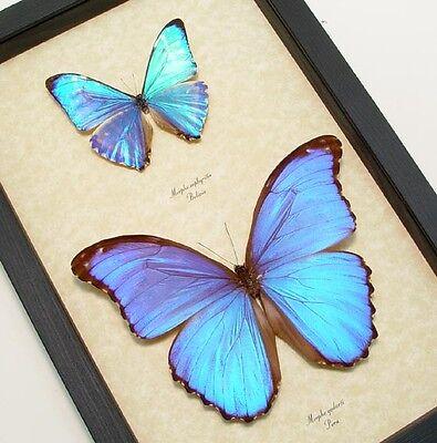 Real Framed Morpho Godarti   Morpho Zephyritis Butterflies M1020