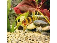 X6 Clown loaches £15 each or 6 for £70